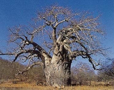 Limpopo Province - Baobab